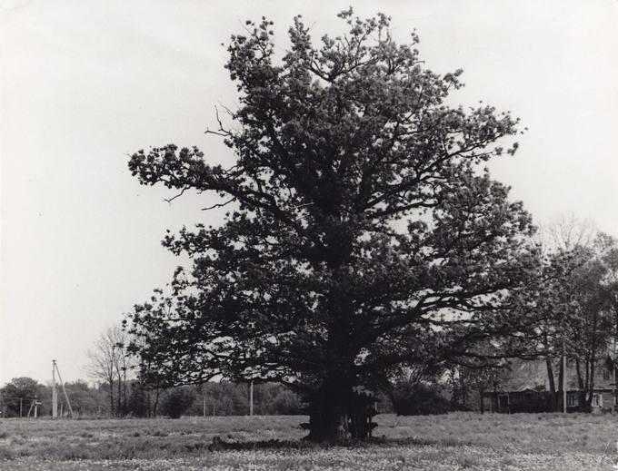 Stebeikėlių ąžuolas
