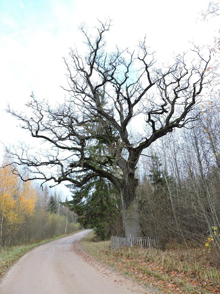 Girelės miško ąžuolas