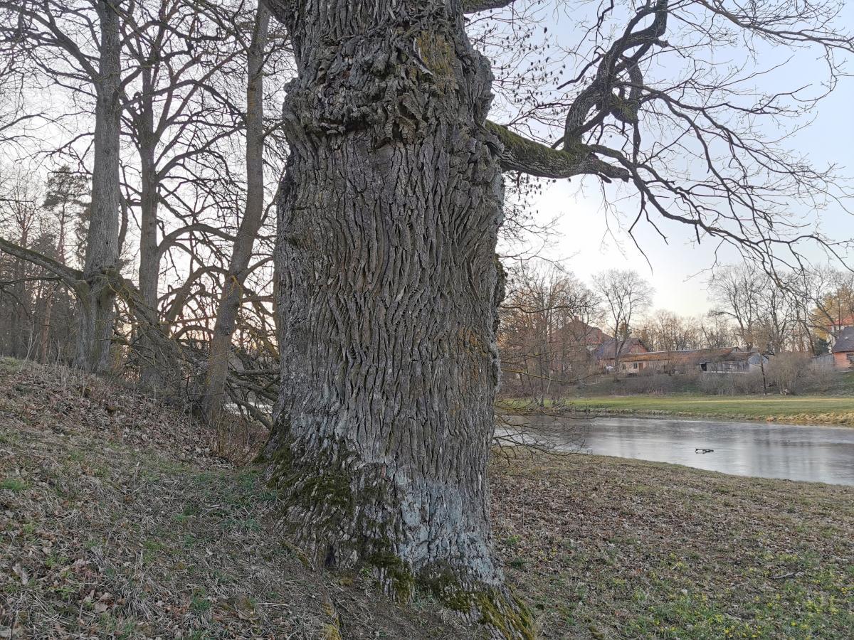 Pajiešmenių parko ąžuolas